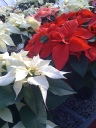 Poinsettias for you!